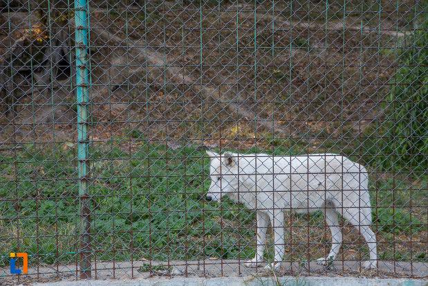 lup-alb-din-gradina-zoologica-din-sibiu-judetul-sibiu.jpg