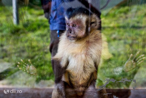 maimuta-africana-gradina-zoologica-din-oradea-judetul-bihor.jpg