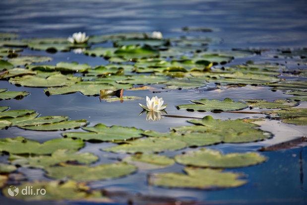 nuferi-albi-lacul-ianculesti-judetul-satu-mare.jpg