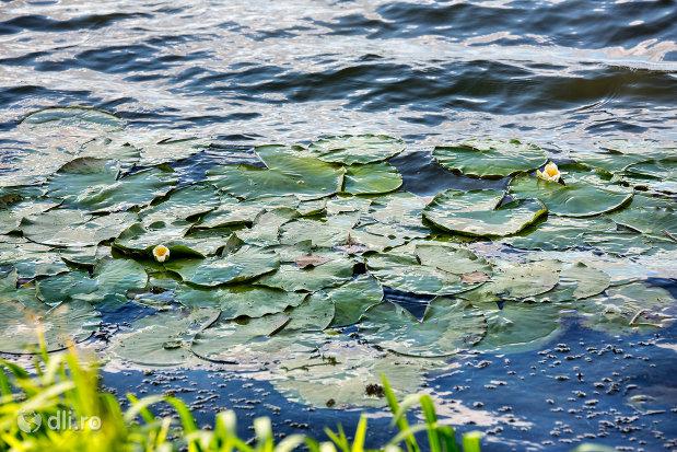 nuferi-in-apa-lacului-ianculesti-judetul-satu-mare.jpg