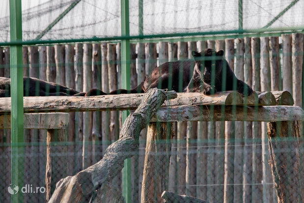 pantera-neagragradina-zoologica-din-oradea-judetul-bihor.jpg