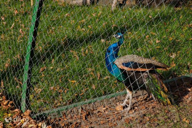 paun-albastru-din-gradina-zoologica-din-oradea-judetul-bihor.jpg