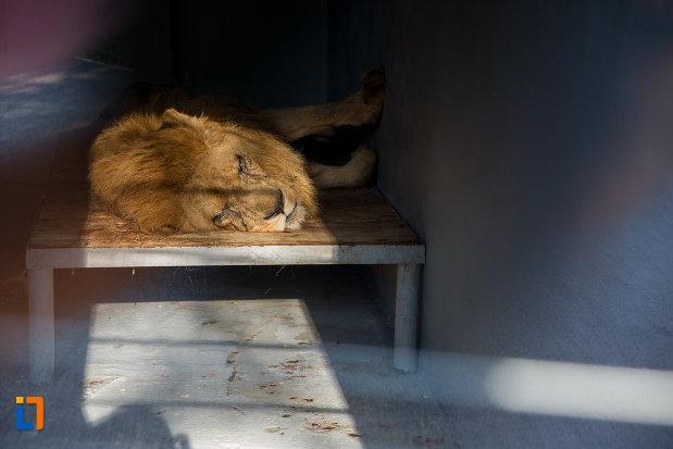 regele-animalelor-gradina-zoologica-din-sibiu-judetul-sibiu.jpg