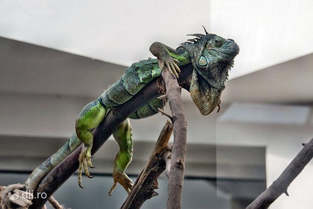 reptila-verde-din-gradina-zoologica-din-oradea-judetul-bihor.jpg
