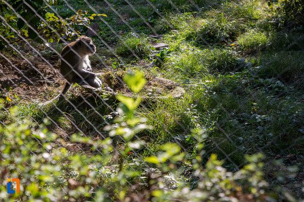 specie-de-maimuta-de-la-gradina-zoologica-din-sibiu-judetul-sibiu.jpg
