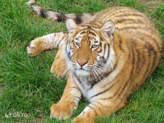 tigru-gradina-zoologica-targoviste-2.jpg