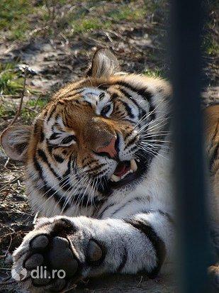 tigru-gradina-zoologica-targoviste.jpg
