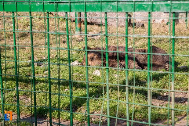 ursul-brun-de-la-gradina-zoologica-din-sibiu-judetul-sibiu.jpg