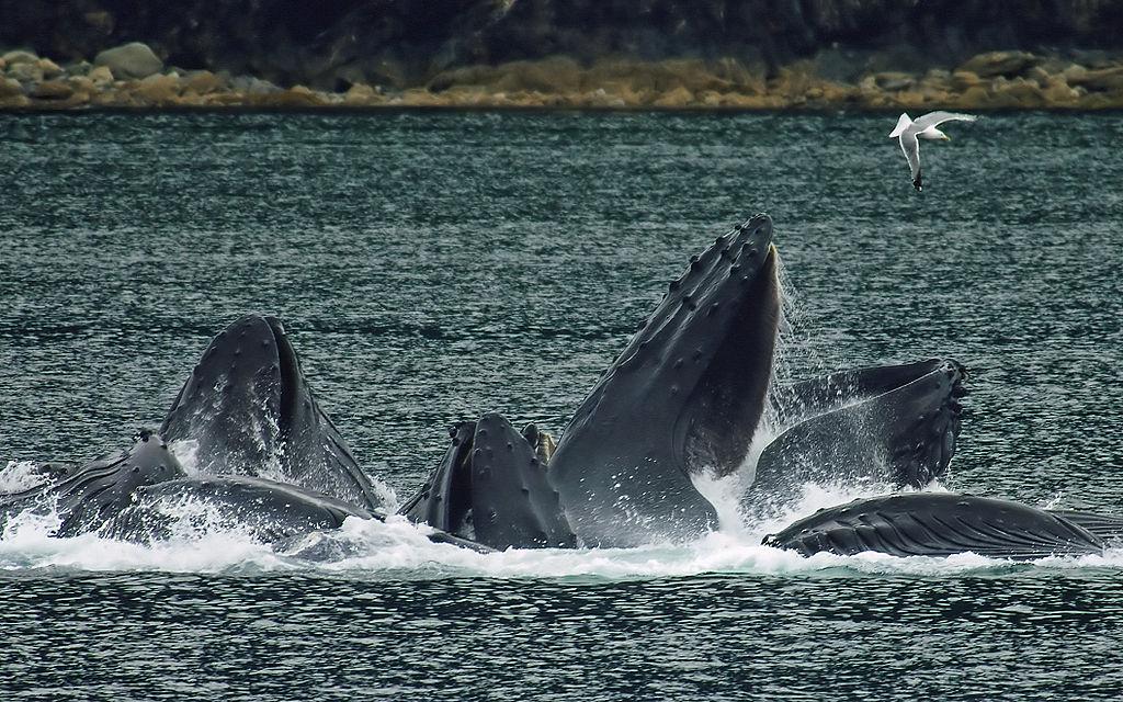 Balene1