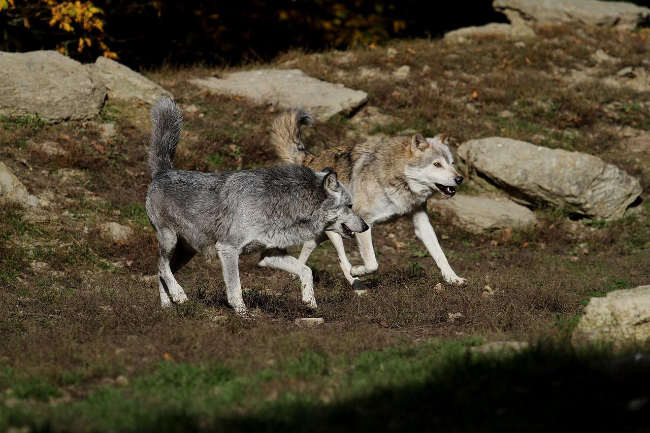 Diferențe și asemănări între câini și lupi