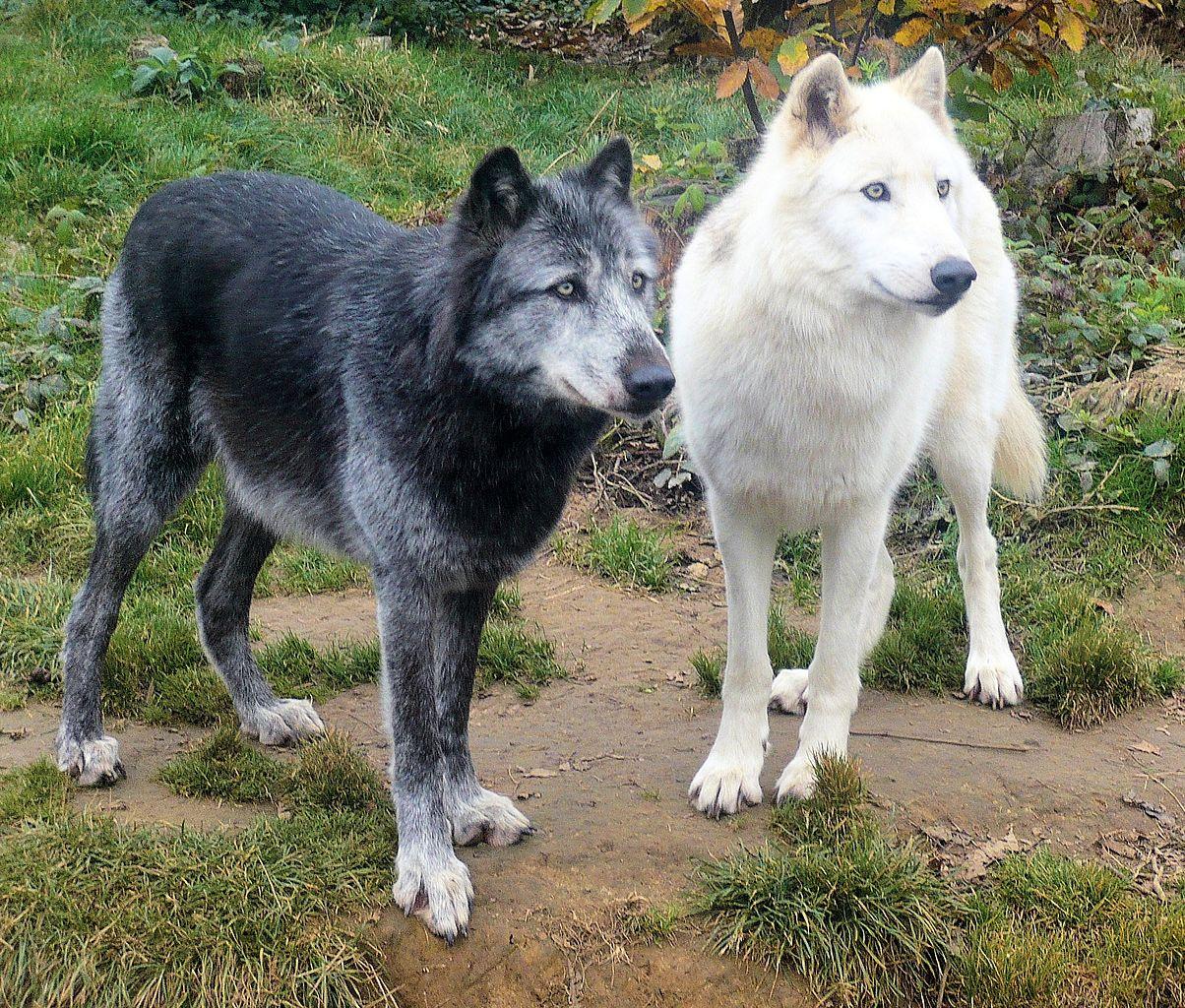 Diferențe și asemănări între câini și lupi1