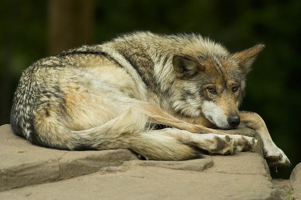 Diferențe și asemănări între câini și lupi11