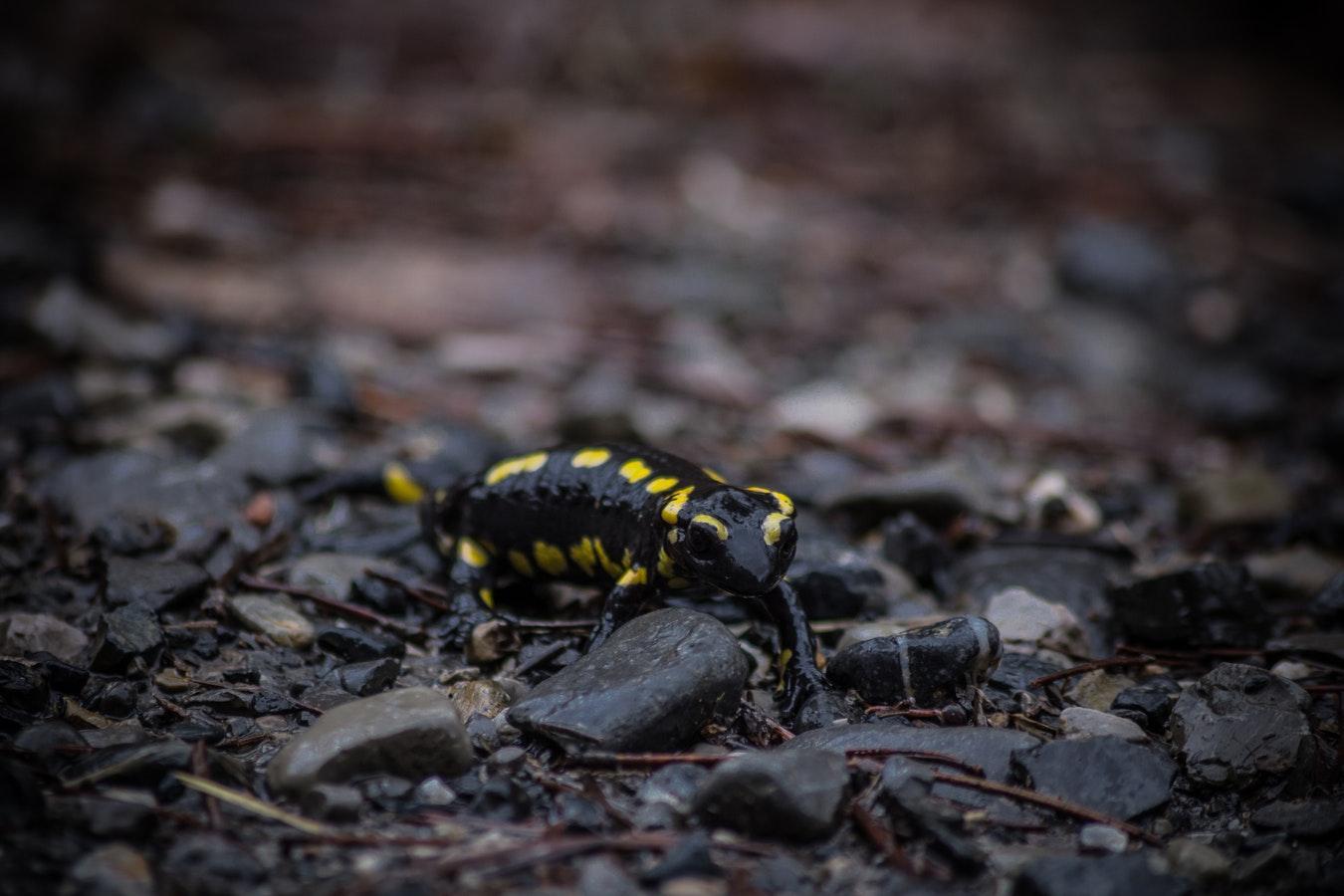 Bioelectromagnetismul si salamandrele