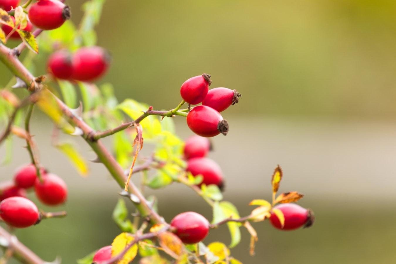 Neuronul rosehip, o descoperire a anului 2018, are forma fructului de maces, Rosa canina, Cynorhodon