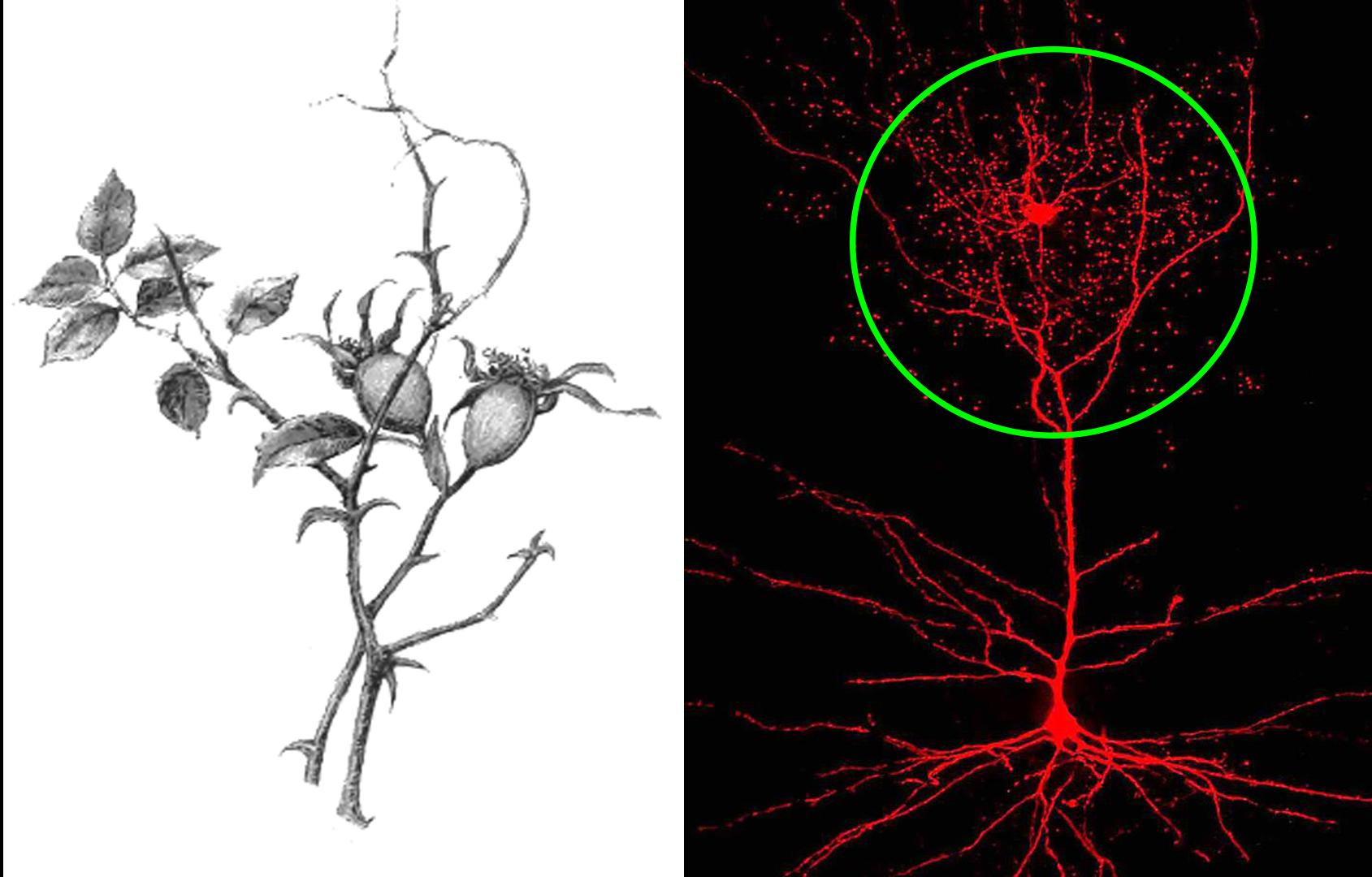 Neuronul rosehip sau neuronul cynorhodon