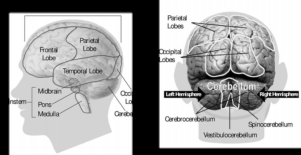 Creierul uman si mecanismele invatarii