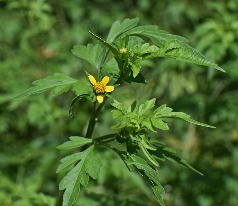 Ambrozie, planta din familia Asteraceae