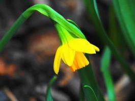 Luna martie, simbolul narciselor