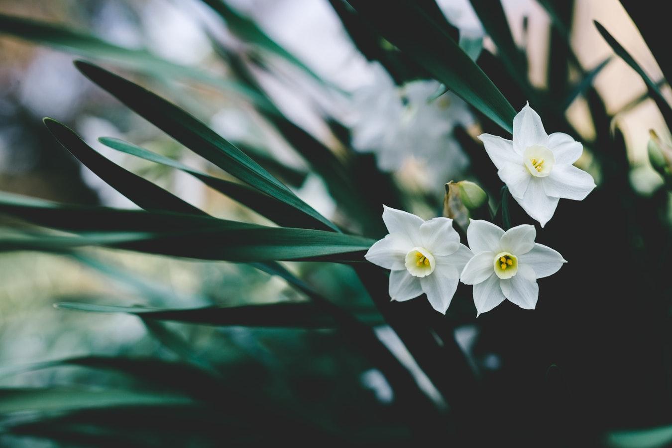 Luna martie, simbolul narciselor albe
