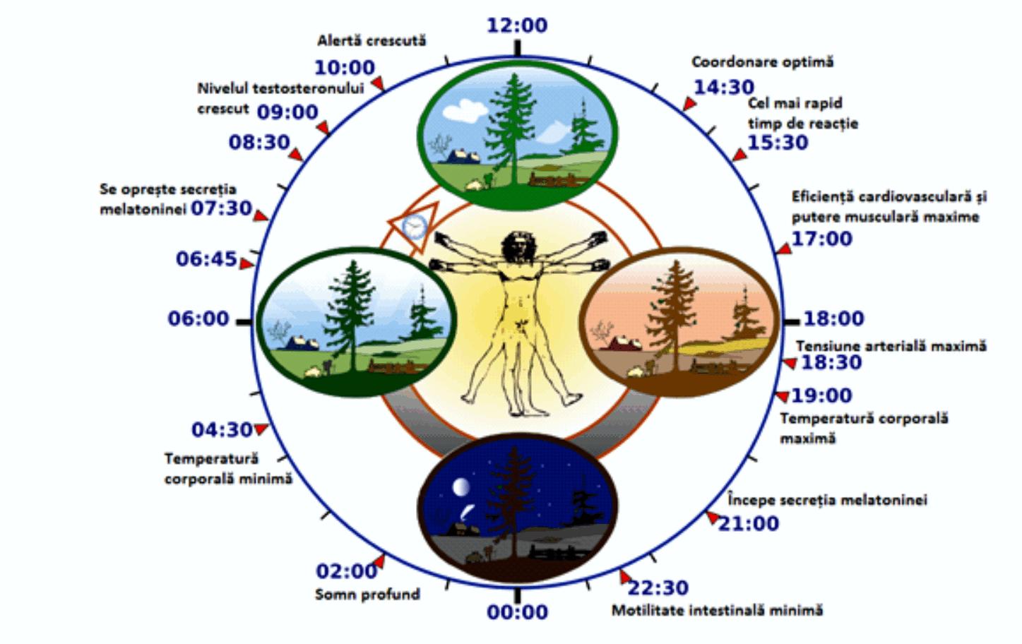 Ritmul circadian. Sursa: nesomn.eu