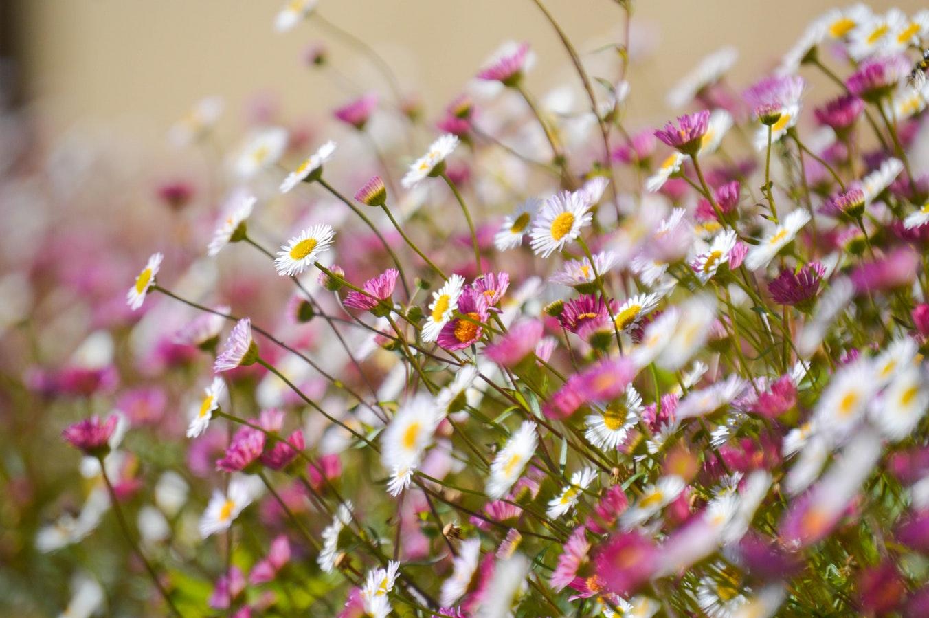Margarete, paralute, florile simbolice ale lunii aprilie