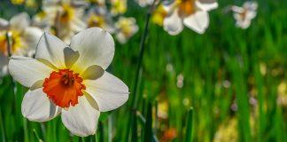 Narcisa, Narcis şi narcisismul, etimologii, sensuri şi semnificaţii simbolice