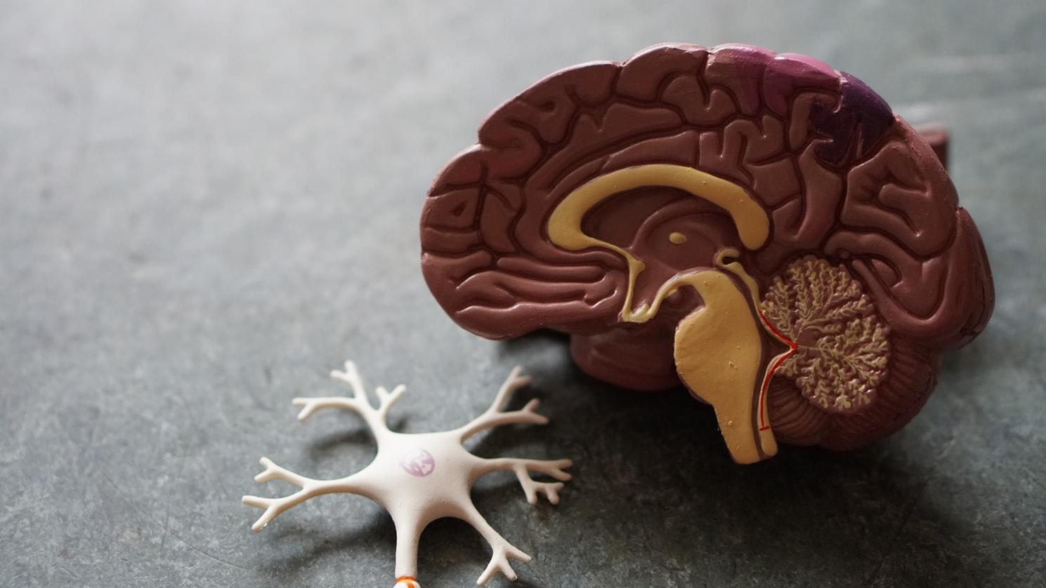 Canicula si functiile creierului