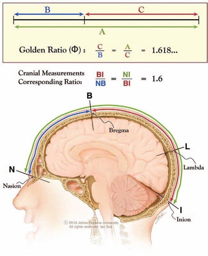 Secţiunea de aur şi creierul uman, Sursa: Science Alert