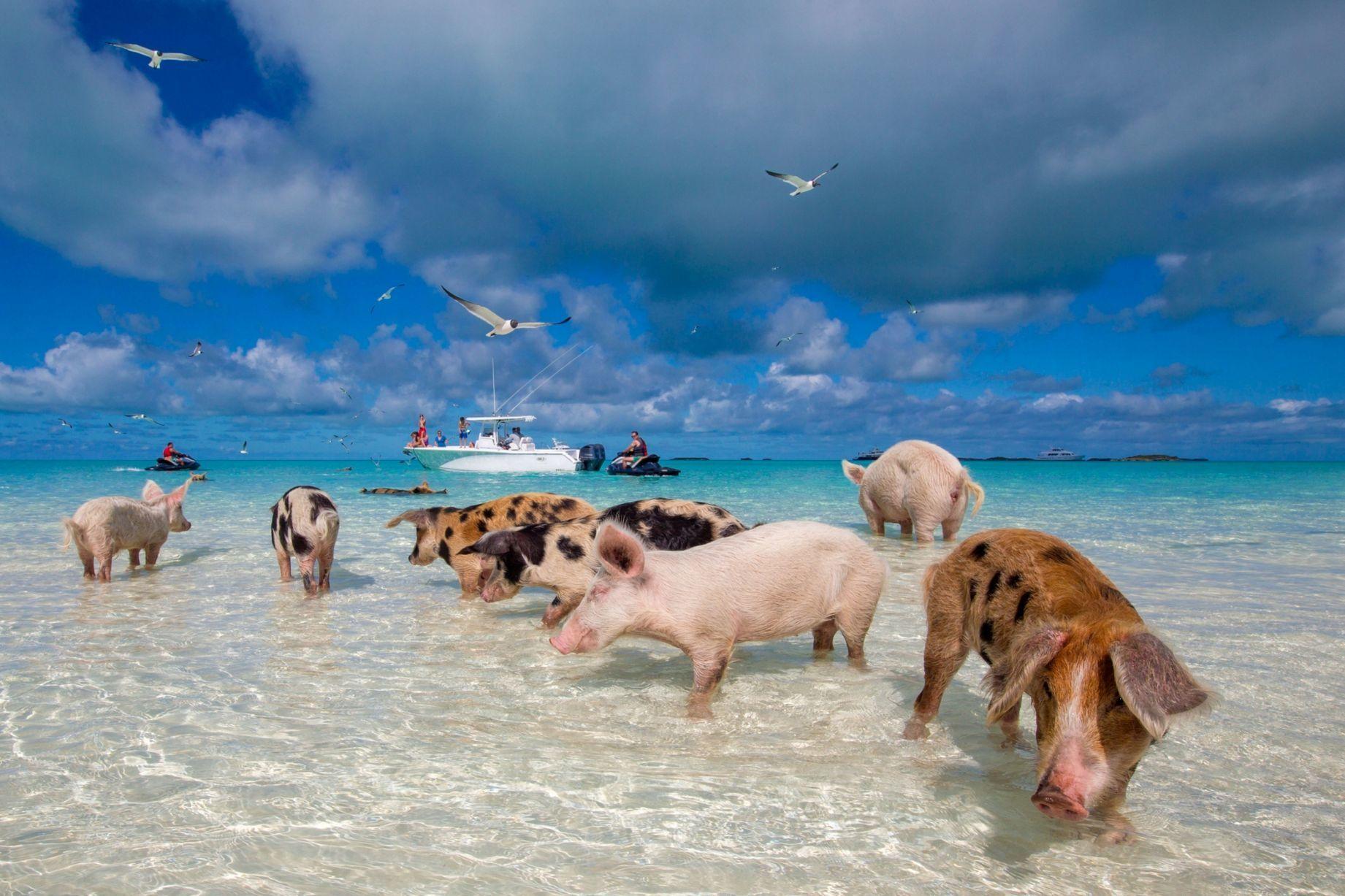 Pig Beach, Sursa: Pinterest