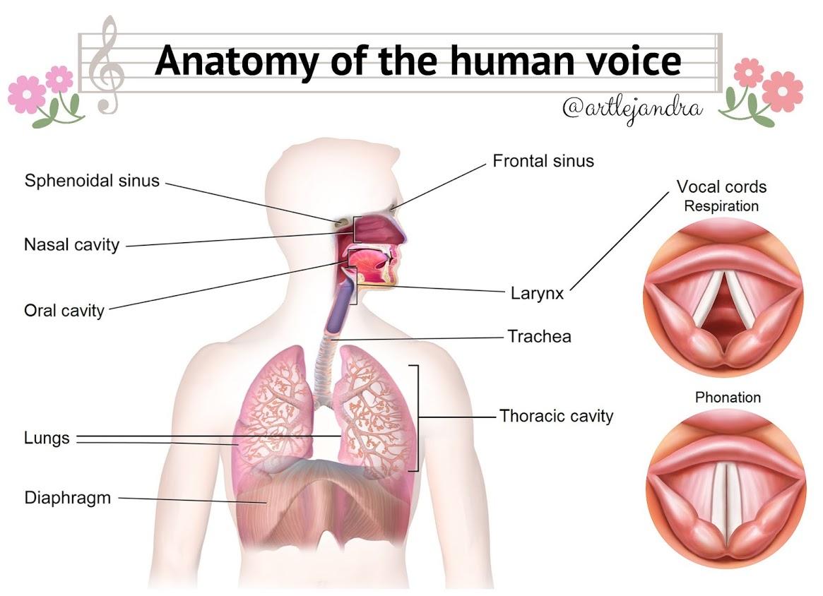 Anatomia vocii, Sursa playmusica