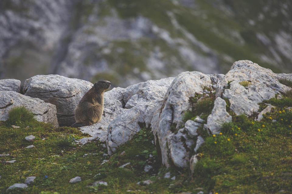 Brebul, castorul romanesc, animalul totemic al geto-dacilor