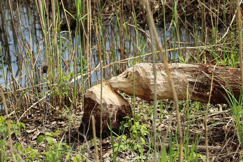 Copac retezat de castor
