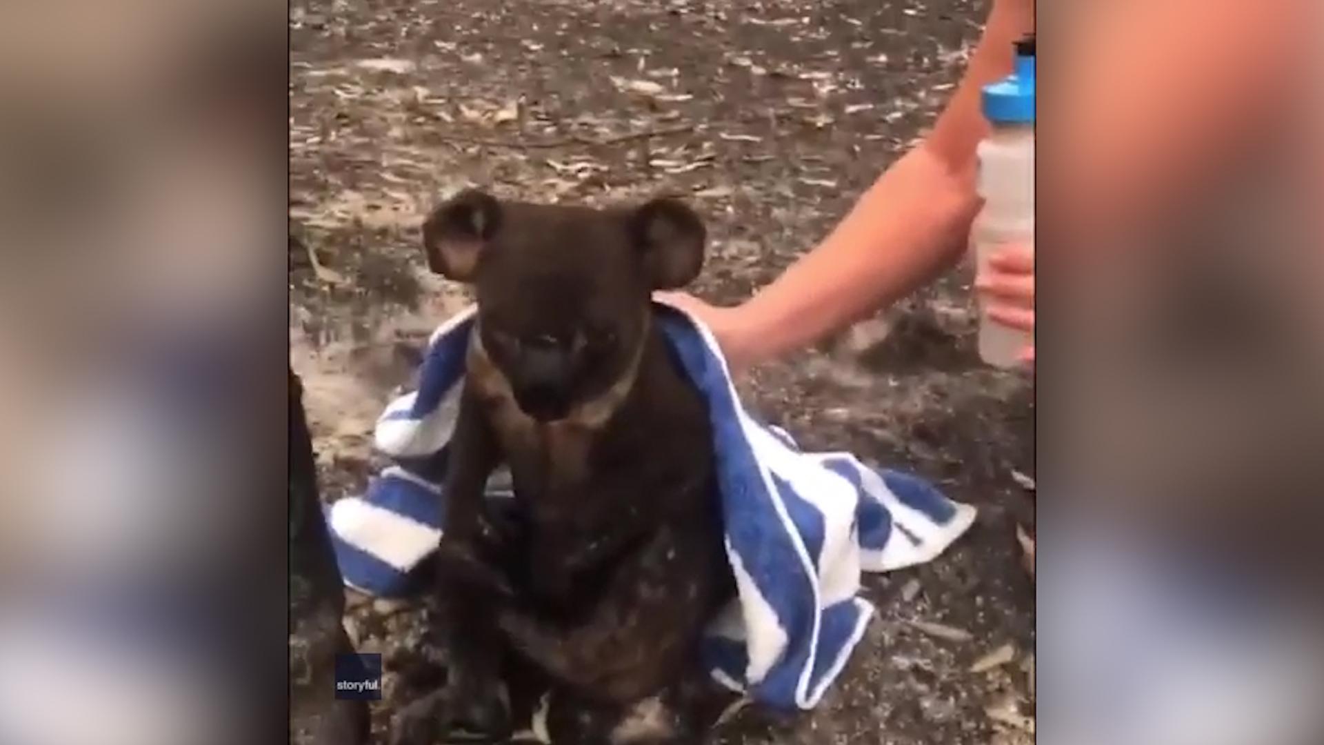 Koala salvat din incendiu, Sursa Washington Post