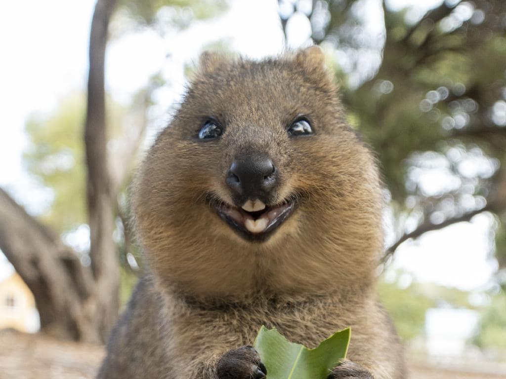 Quokka, cel mai fericit animal din lume, Sursa Herald Sun