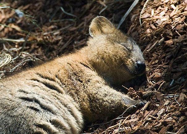 Quokka dormind, Sursa Bored Panda