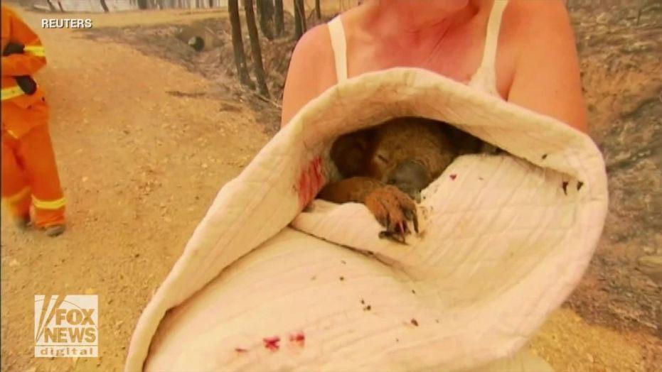 Un urs koala salvat, Sursa Fox News