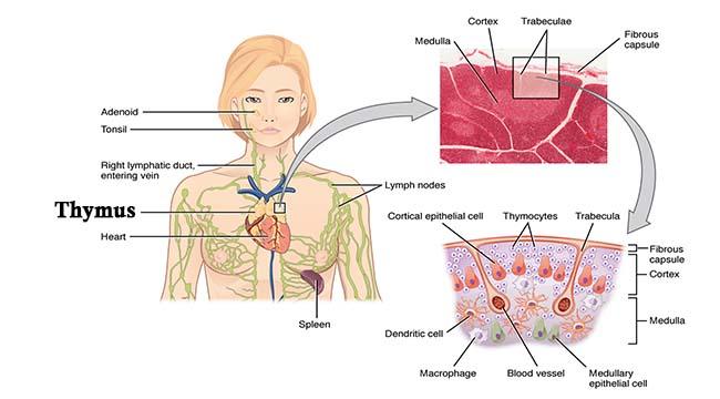 Timusul, Sursa Microbe Notes