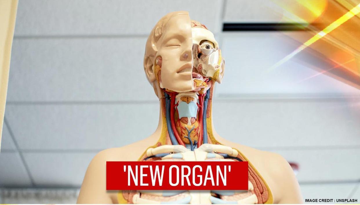 Un nou organ in capul uman
