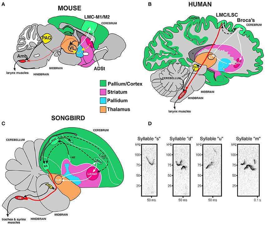 Proteina FOXP2 – cheia diferenţelor dintre femei şi bărbaţi în privinţa limbajului
