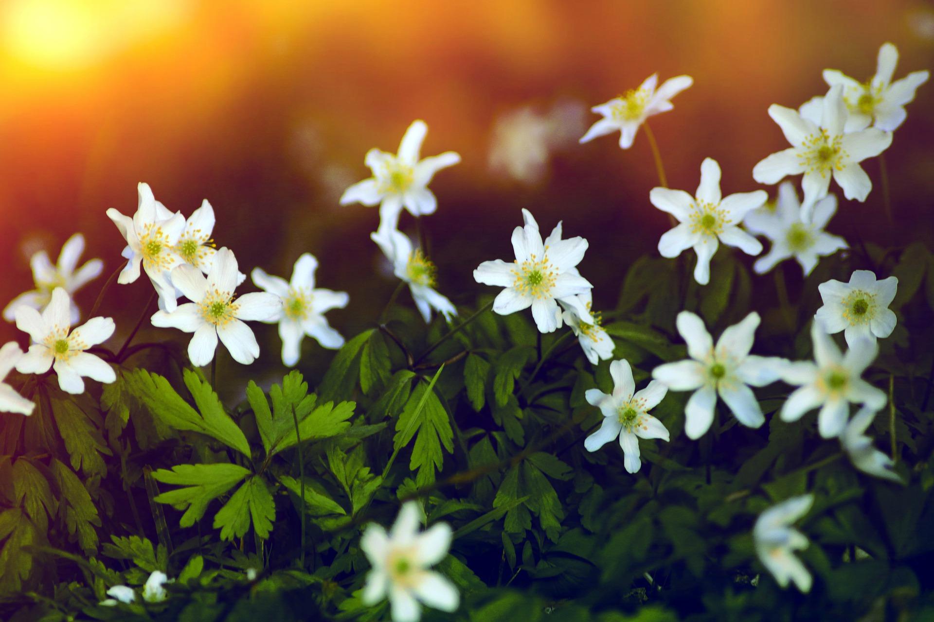 Floarea Pastelui
