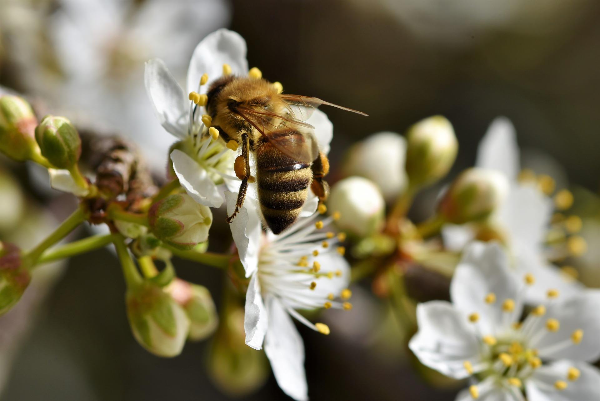Curiozităţi despre albine
