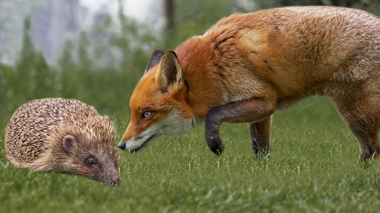 Ariciul şi vulpea. Arta şi ştiinţa predicţiilor