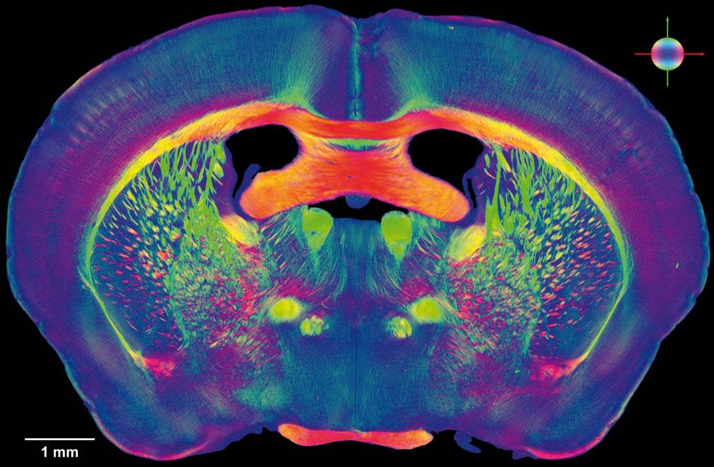 Simularea completă a unei coloane neocorticale de 1 milimetru
